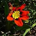 Sparaxis tricolor, Nieuwoudtville, Cameron McMaster