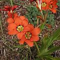 Sparaxis tricolor, Mary Sue Ittner