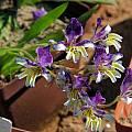 Sparaxis variegata, Mary Sue Ittner