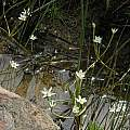 Spiloxene aquatica, Nieuwoudtville, Bob Rutemoeller