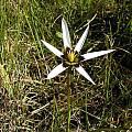 Spiloxene capensis, Boskloof, Bob Rutemoeller