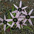 Spiloxene capensis, pink, Mary Sue Ittner