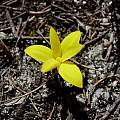 Spiloxene monophylla, Napier, Cameron McMaster