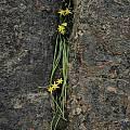 Spiloxene scullyi, Namaqualand, Bob Rutemoeller