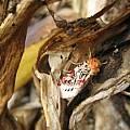 Spodoptera picta moth, David Sneddon