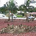 Crinum destruction in roundabout, David Sneddon