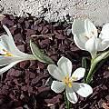 Sternbergia candida, John Lonsdale