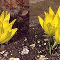 Sternbergia clusiana, Brian Whyer