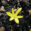 Sternbergia colchiciflora, Alessandro Marinello