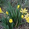 Sternbergia vernalis, Jane McGary
