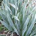 Sternbergia fischeriana, Angelo Porcelli