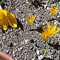 Sternbergia greuteriana, Jane McGary