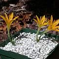 Sternbergia greuteriana, John Lonsdale