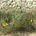 Sternbergia lutea, Angelo Porcelli