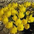 Sternbergia lutea clone 1, Angelo Porcelli