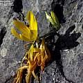 Sternbergia sicula, Mark Wilcox
