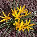 Sternbergia sicula, John Lonsdale