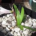Strumaria prolifera, Nhu Nguyen