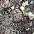 Stylochaeton puberulus, Nicholas Wightman