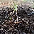 Comfrey root mass, Travis Owen