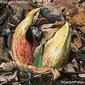 Symplocarpus foetidus, Graham Rice