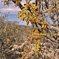 Quercus garryana, Travis Owen