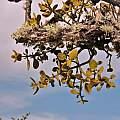 Phoradendron villosum, Travis Owen