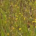 Ranunculus austro-oreganus, Travis Owen