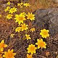 Lasthenia californica, Travis Owen