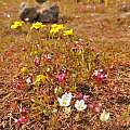 Wildflowers on the plateau of Upper Table Rock, Travis Owen