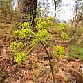 Lomatium sp., Travis Owen
