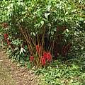 Tapeinochilos ananassae, Nhu Nguyen