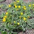 Taraxia tanacetifolia, Plumas County, Mary Sue Ittner
