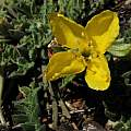 Taraxia tanacetifolia, Sierra County, Gary A. Monroe