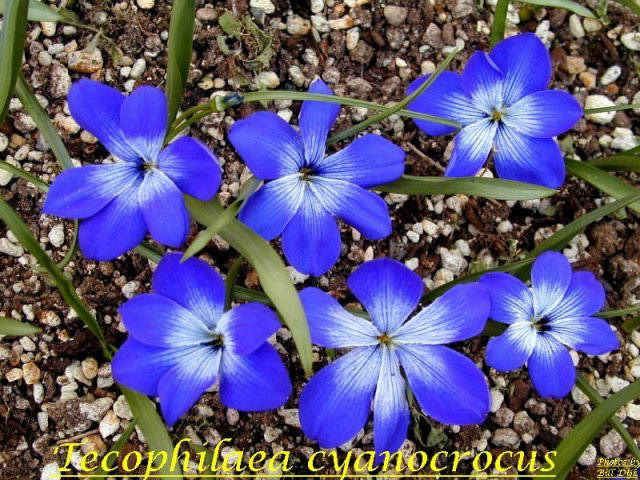 Pacific Bulb Society Favorite Blue Flowered Bulbs Two