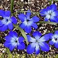 Tecophilaea cyanocrocus, Bill Dijk