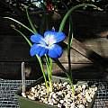 Tecophilaea cyanocrocus, Nhu Nguyen