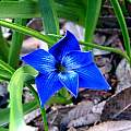 Tecophilaea cyanocrocus, Lee Poulsen