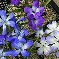 Tecophilaea species, John Lonsdale