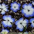 Tecophilaea cyanocrocus var. leichtlinii, Bill Dijk