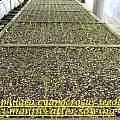 Tecophilaea seedling, Bill Dijk