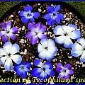 Tecophilaea species, Bill Dijk