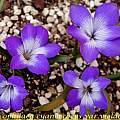 Tecophilaea cyanocrocus var. violacea, Bill Dijk