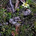 Thelymitra flexuosa, Mary Sue Ittner