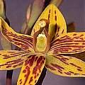 Thelymitra villosa, Ron Heberle