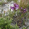 Thereianthus bracteolatus, Rachel Saunders
