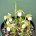 Tigridia chiapensis, Rob Hamilton