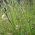 Tigridia  ehrenbergii subsp. ehrenbergii, Verónica Chavez