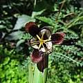 Tigridia hallbergii ssp. hallbergii, Nhu Nguyen