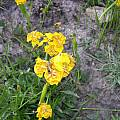 Tigridia mexicana, Dennis Szeszko
